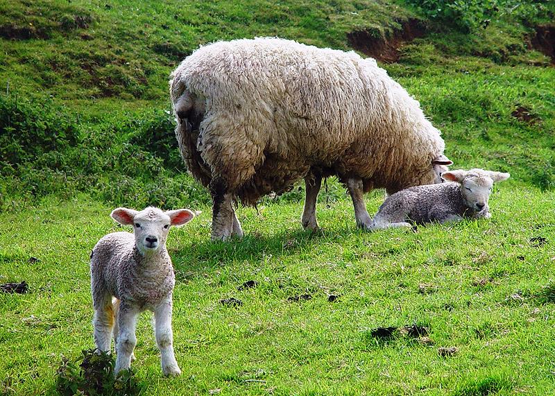 lambs-wool-lamb-image